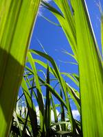 Sugar Cane - The Fuel of the Future