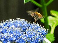 Lace Leaf Hydrangea with Bee 2