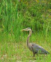 Great Blue Heron II