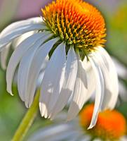 Summer Coneflowers