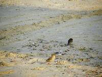 Little Birds in the Sand