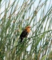 Young Yellow Headed Blackbird