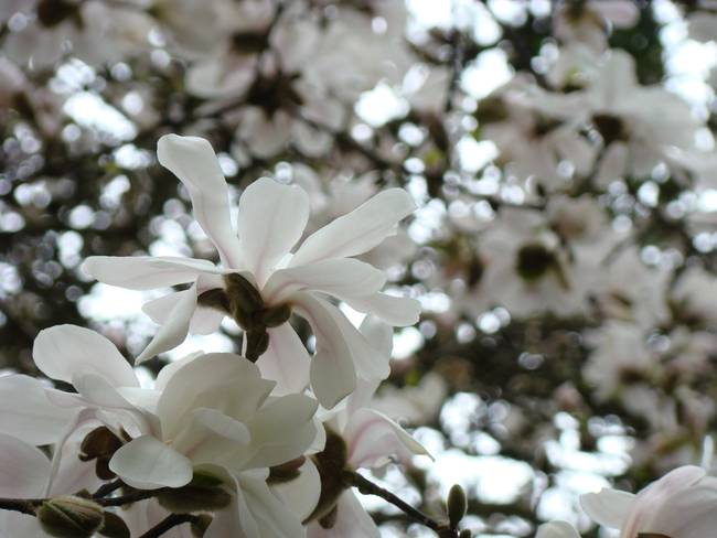 Magnolia Flowers White Magnolia Tree Flower Art By Baslee Troutman