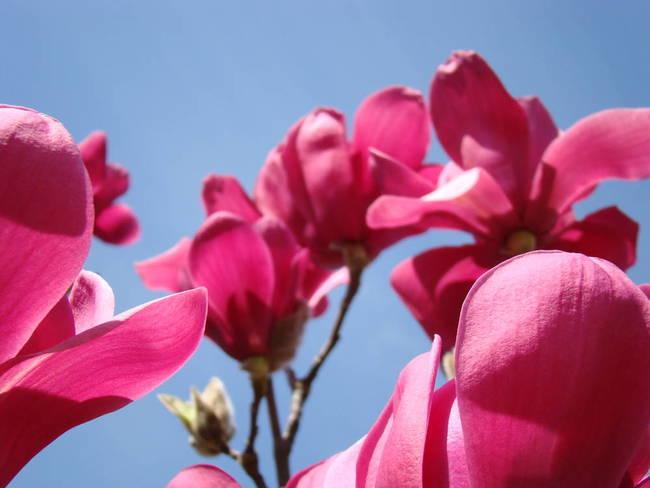 Magnolia Flower Art Pink Magnolia Tree Spring By Baslee Troutman