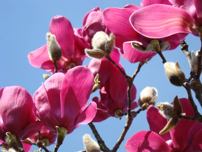 Magnolia pink flowers art spring magnolia tree by baslee troutman magnolia pink flowers art spring magnolia tree by baslee troutman fine art prints mightylinksfo