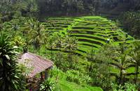 Indonesian Rice Paddy