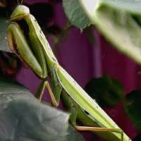 Preying Mantis in garden by Gary Miles