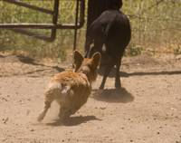 090627 corgi sheep meetup 060