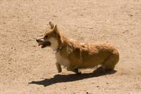 090627 corgi sheep meetup 062
