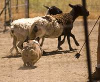 090627 corgi sheep meetup 103