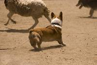 090627 corgi sheep meetup 124