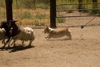 090627 corgi sheep meetup 133
