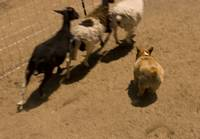 090627 corgi sheep meetup 004