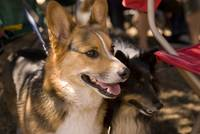 090627 corgi sheep meetup 017