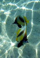 bannerfish-sharm 09- tamaras group1 975