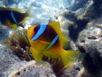 clown fish-sharm 09- tamaras group1 505