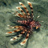 lion fish-sharm 09- tamaras group2 010