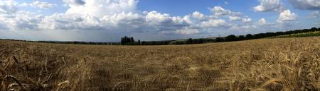 Cornfield in the wind 2