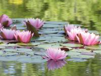 Water Lillies_48