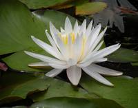 White Waterlily, Nymphaea oderata