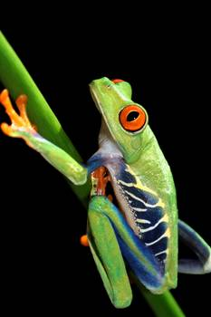 red eyed tree frog by artist paulhalfmann (Paul Halfmann). Giclee prints, art prints, animal art, frog art, a colorful frog on a stem; from an original photograph, picture, photography