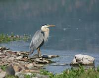 Birds-Herons-Cranes-and-Egrets gallery