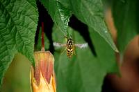 Snacking Yellow Jacket