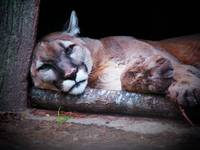 reclining mountain lion