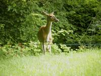 Injured Deer Listens