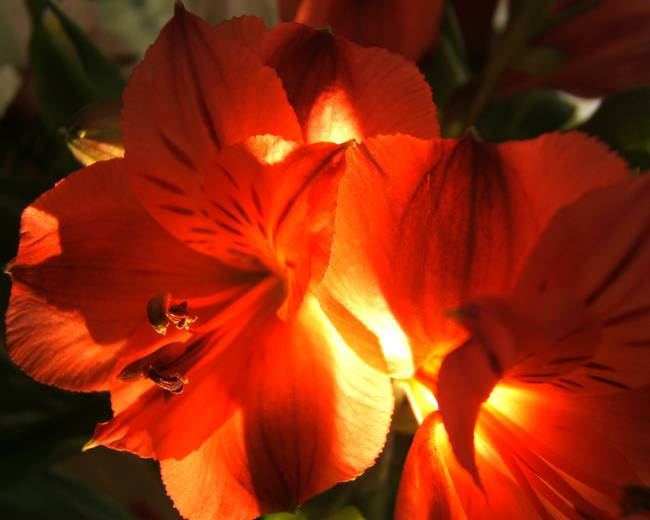 Illuminated Alstroemeria