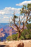 Grand Canyon tree at Hermits Rest