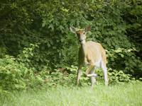 Injured Deer Shows Fear