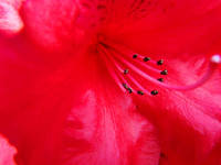 Azaleas Red Azalea Flowers Art Prints Nature Art