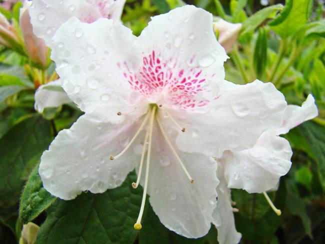 Azalea flowers art print white azaleas raindrops by baslee troutman azalea flowers art print white azaleas raindrops by baslee troutman fine art prints mightylinksfo