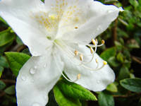 White Azalea Flowers Art Prints Azaleas Nature Art