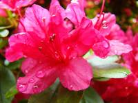 Azaleas Red Azalea Flowers Art Prints Nature