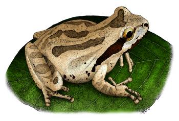 Pacific Tree Frog by artist Roger Hall. Giclee prints, art prints, animal art, frog art, Pacific Chorus Frog (Hyla regilla); from an original pen and ink drawing