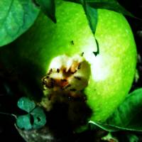 Green Apple & Ants