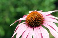 Echinacea doesn't come from a bottle