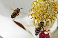 Bee (Apis mellifera) & Magnolia Bloom