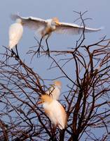 Cattle Egrets in Tree