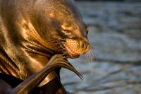 Sealion Scratch