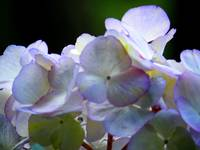 Purple and Whit Hydrangea