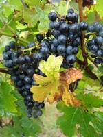 grapes with one yellow leaf