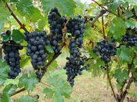 grapes ready to be harvested