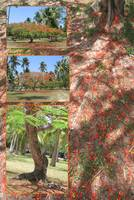 Flamboyant, royal poinciana