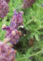Lavander with Black & Yellow Bee