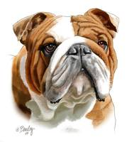 Brown and White Bulldog