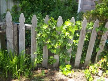 English Ivy On Fence By Beryl Inmon