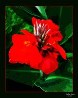 Striking Red Canna